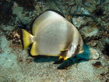 Pinnate Batfish - Platax pinnatus. Pinnate Batfish Platax pinnatus Marine Life Tropical Stock Photos