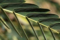 Pinnate Leaf Stock Photo