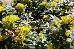 Pinnate leaves and flowers of Oregon grape Stock Image