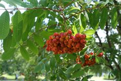 Pinnate leaves and orange berries of mountain ash. In summer Stock Photo