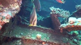 Pinnate pinnatus Platax Batfish на развалине Gannis d сток-видео