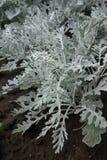 Pinnate silver green leaves of Jacobaea maritima Royalty Free Stock Photos