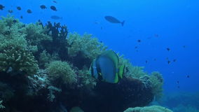 Pinnate Spadefish stock video footage