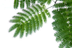 Pinnately compound leaf Royalty Free Stock Images