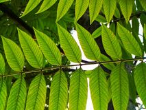 Pinnately feuilles de composé Image libre de droits