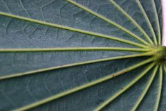 Pinnately parallel venation. Pinnate Venation is vein arrangement in a leaf with one main vein extending from the base to the tip of the leaf and smaller veins Stock Image