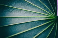 Pinnately parallel venation. Pinnate Venation is vein arrangement in a leaf with one main vein extending from the base to the tip of the leaf and smaller veins Stock Photos