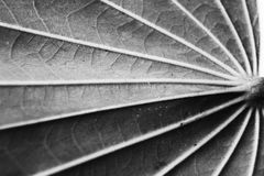 Pinnately parallel venation. Pinnate Venation is vein arrangement in a leaf with one main vein extending from the base to the tip of the leaf and smaller veins Royalty Free Stock Photos