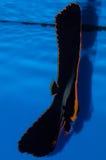 Pinnatus蝙蝠鱼 免版税库存照片