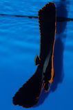 Pinnatus Batfish Στοκ φωτογραφίες με δικαίωμα ελεύθερης χρήσης