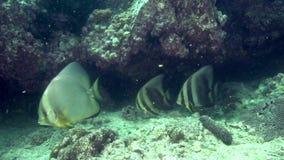 Pinnatus penné de Platax de Batfish dans le golfe d'Oman du Foudjairah EAU banque de vidéos