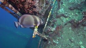 Pinnatus pennato di Platax del pesce pipistrello sul relitto di Gannis D stock footage