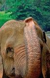 Pinnawala大象孤儿院 库存照片