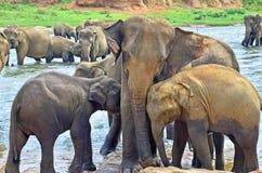 Pinnawala大象孤儿院 库存图片