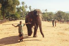 Pinnawala,斯里兰卡, 2011年10月21日:与人的大象在托儿所 免版税库存图片