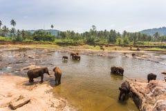 Pinnawala bada för elefanter Arkivfoto