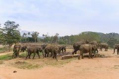 Pinnawala elefantbarnhem Royaltyfri Foto