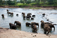 Pinnawala elephant orphanage Royalty Free Stock Photos