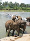 Pinnawala elephant orphanage Royalty Free Stock Images