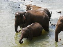 Pinnawala elephant orphanage Stock Photos