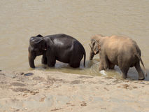 Pinnawala Elephant Orphanage Royalty Free Stock Image