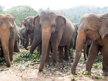 Pinnawala Elephant Orphanage royalty free stock images