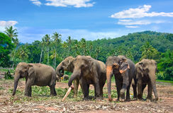 Pinnawala Elephant Orphanage Royalty Free Stock Photography