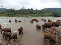 Pinnawala Elephant Orphanage, Sri Lanka. Pinnawala Elephant Orphanage is an orphanage, nursery and captive breeding ground for wild Asian elephants located at royalty free stock images
