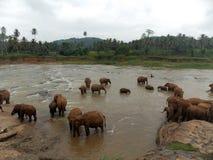 Pinnawala Elephant Orphanage, Sri Lanka royalty free stock photos