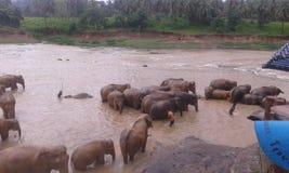 Pinnawala elephant orphanage. Located in sabaragamuwa province sri lanka Royalty Free Stock Images