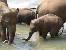 Pinnawala elephant orphanage in Sri Lanka Stock Photography