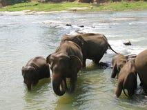 Pinnawala elephant orphanage in Sri Lanka Stock Photo