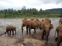 Pinnawala Elephant Orphanage, Sri Lanka. Pinnawala Elephant Orphanage is an orphanage, nursery and captive breeding ground for wild Asian elephants located at stock photography