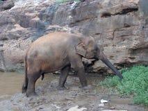 Pinnawala Elephant Orphanage, Sri Lanka. Pinnawala Elephant Orphanage is an orphanage, nursery and captive breeding ground for wild Asian elephants located at stock image