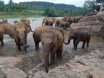 Pinnawala Elephant Orphanage, Sri Lanka. Pinnawala Elephant Orphanage is an orphanage, nursery and captive breeding ground for wild Asian elephants located at stock photos