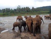 Pinnawala Elephant Orphanage, Sri Lanka. Pinnawala Elephant Orphanage is an orphanage, nursery and captive breeding ground for wild Asian elephants located at royalty free stock photography