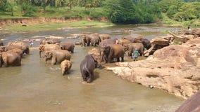 Pinnawala, Sri Lanka, il 21 ottobre 2011: Molti elefanti che bagnano nel fiume video d archivio