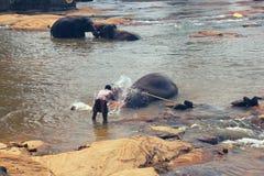 Pinnawala, Sri Lanka, 21 oktober, 2011: Vele olifanten die in de rivier baden Stock Foto's