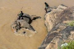 从Pinnawela大象孤儿院(Pinnawala)的一头大象在玛哈大矢河沐浴在斯里兰卡 库存照片
