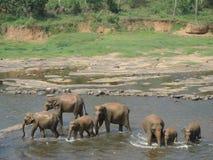 Pinnawela, Шри-Ланка Стоковая Фотография RF