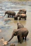 Pinnawela Elefant-Waisenhaus in Sri Lanka Lizenzfreies Stockfoto