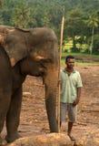 Pinnawela Elefant-Waisenhaus in Sri Lanka Lizenzfreie Stockfotografie