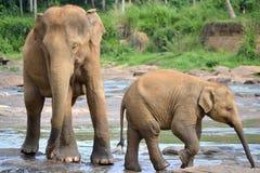 Pinnawela elefantbarnhem Arkivbild