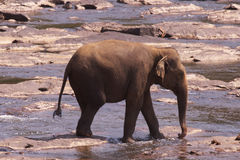 Pinnawela elephant orphanage Royalty Free Stock Photo