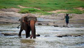Pinnawela Elephant Orphanage in Sri Lanka Royalty Free Stock Image