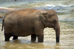 Pinnawela Elephant Orphanage in Sri Lanka Stock Photography