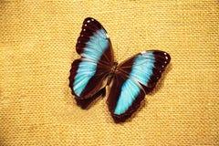 Pinned blue morpho butterfly Morpho peleides