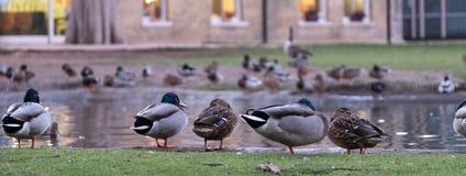 Pinner Memorial Park, Middlesex UK Änder på kanten av dammet Västra hus och Heath Robinson Museum bakom arkivbilder