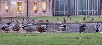 Pinner Memorial Park, Middlesex UK Änder på kanten av dammet Västra hus och Heath Robinson Museum bakom royaltyfri fotografi