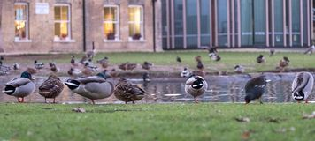 Pinner Memorial Park, Middlesex UK. Ducks on the edge of the pond. West House and the Heath Robinson Museum behind. royalty free stock photography
